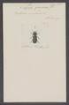 Apate - Print - Iconographia Zoologica - Special Collections University of Amsterdam - UBAINV0274 026 09 0009.tif
