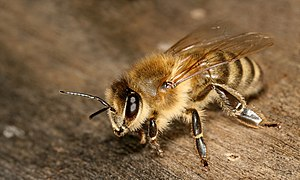Carniolan honey bee - Image: Apis mellifera carnica worker hive entrance 3