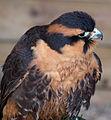 Aplomado Falcon (6447242677).jpg