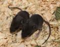 Apodemus semotus (two juveniles) PShaner 2012-5-10.png