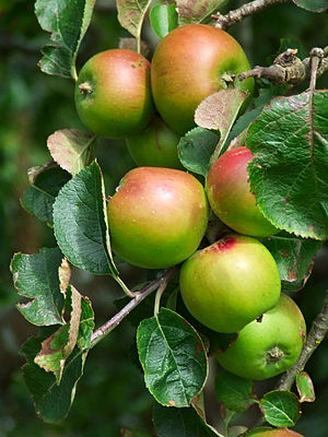 Apples on tree.