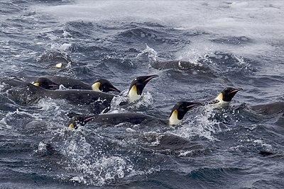 Πιγκουίνος που χρονολογείται