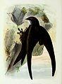 Apus apus 1873.jpg