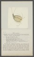 Apus cancriformis - - Print - Iconographia Zoologica - Special Collections University of Amsterdam - UBAINV0274 099 04 0002.tif