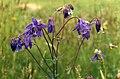 Aquilegia vulgaris 1b.jpg