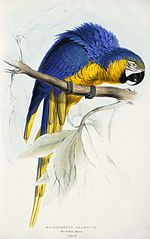 Ara ararauna -Macrocercus ararauna Blue & yellow Maccaw -by Edward Lear 1812-1888