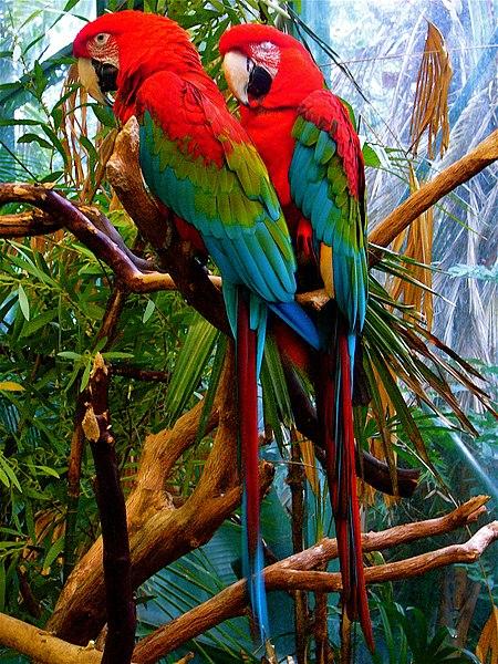 450px-Ara_chloroptera_-San_Diego_Zoo-8a.