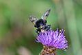 Araignées, insectes et fleurs de la forêt de Moulière (Les Agobis) (29018345655).jpg