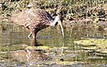 Aramus guarauna (Limpkin) 37.jpg