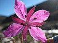Arctic flowers - 15 (7569356324).jpg