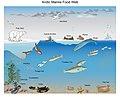 Arctic marine food web.jpg