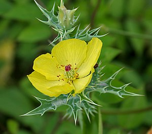 Papaveraceae - Mexican prickly poppy (Argemone mexicana)