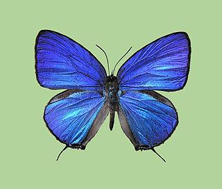 <i>Arhopala aronya</i> species of insect