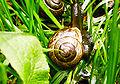 Arianta arbustorum 237-03.jpg