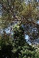 Arkesden Scots Pine and ivy Essex, England 2.jpg