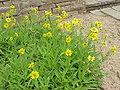 Arnica longifolia1.jpg