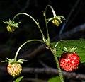 Arosa - Fragaria vesca.jpg