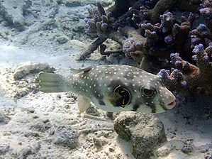 White-spotted puffer - Image: Arothron hispidus Maldives