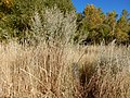 Artemisia absinthium - absinthium - Flickr - Matt Lavin (3).jpg