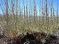 Artemisia arbuscula (28865339571).jpg