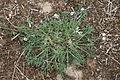 Artemisia campestris ssp campestris - Mainzer Sand iMG 5696.JPG