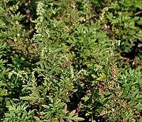 Artemisia nilagirica W IMG 3104