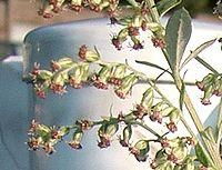 Artemisia princeps1