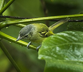 Ashy-headed Tyrannulet - South Ecuador S4E8985 (16250969804).jpg