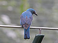 Asian Fairy-bluebird female RWD2.jpg