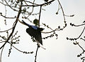 Asian Fairy Bluebird (Irena puella) taking off from Peepal (Ficus religiosa) at Jayanti, Duars, WB W Picture 434.jpg
