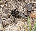 Asilidae. Robberfly (32582843441).jpg