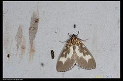 Asota tortuosa (14950179297).jpg