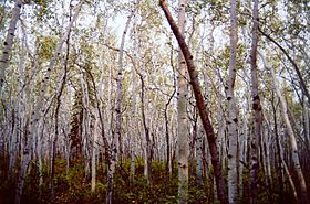 Aspen forest in Yukon Flats National Wildlife Refuge.jpg