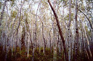 Yukon Flats National Wildlife Refuge - Aspen forest in Yukon Flats National Wildlife Refuge