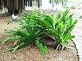Asplenium nidus Fern - - Queen Liliuokalani Gardens, Hilo, Hawaii (2440454870).jpg