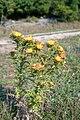 Asteraceae glavocike Omisalj 0809.jpg