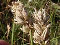 Astragalus adsurgens (3751079202).jpg