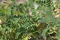 Astragalus mongolicus leaves.jpg