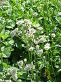 Astrantia major9.jpg