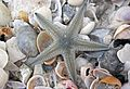 Astropecten sp. starfish (Cayo Costa Island, Florida, USA) 1 (23679871904).jpg