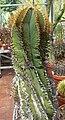 Astrophytum ornatum var glabrescens 1.jpg