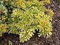 Astydamia latifolia (Los Cancajos) 01 ies.jpg
