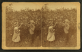 At the Field of Roses, Bethlehem, N.H, by Littleton View Co..png