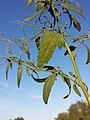 Atriplex oblongifolia sl11.jpg