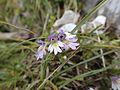 Augentrost (Euphrasia sp.) - KS-Tour Persailhorn (9970851813).jpg