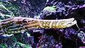 Aulostomus chinensis - Poisson-trompette - Aqua Porte Dorée 01.JPG