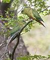 Austral Parakeet (8443645264).jpg