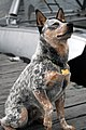 Australian Cattle Dog sitting.jpg