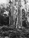 Australian gum trees, Kanimbla Valley, NSW (2363487126).jpg