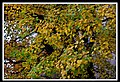 Autumn Leaves begin to fall-011 (5659677256).jpg